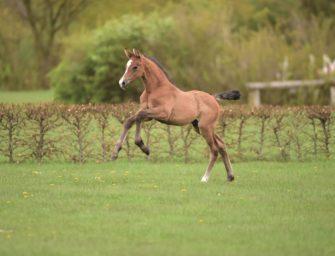 Holsteiner Pferdetage – Treffen der Sport- und Zuchtzukunft in Elmshorn