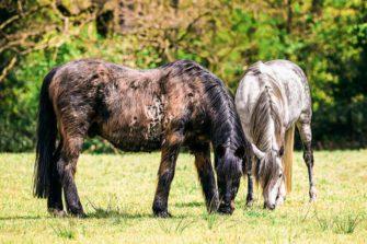 Equines Cushing Syndrom Ecs Bei Pferd Und Pony Stgeorg