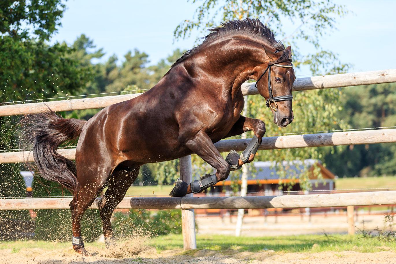Muskulatur und Muskelaufbau des Pferdes - St.GEORG