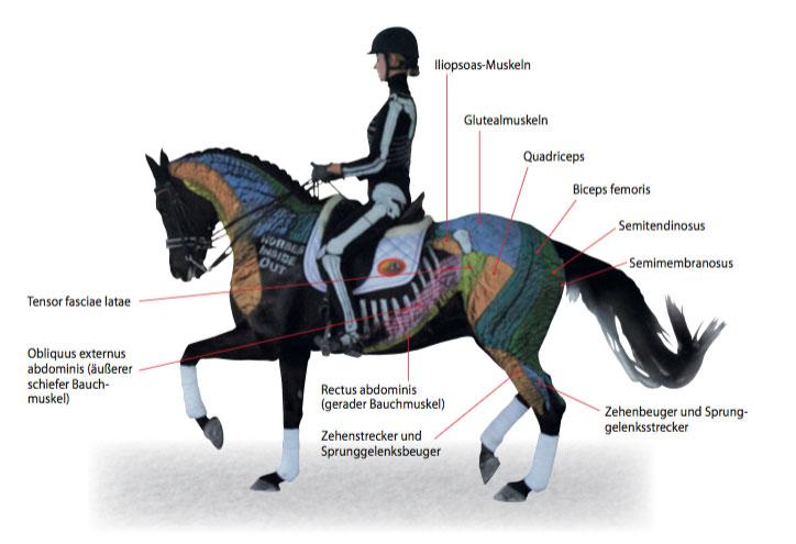 Anatomie des Pferdes und Pferdetraining mit Gillian Higgins - St.GEORG